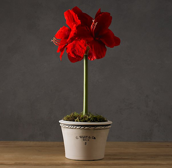 Red Amaryllis Bulb Kit - Restoration Hardware