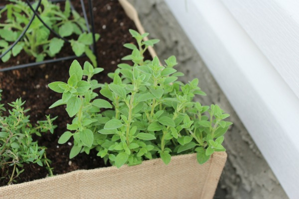 Burlap Planter with Oregano - Container Gardening Ideas