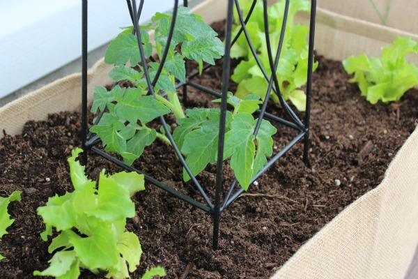 Kitchen Container Potager with Tomato and Lettuce - Kitchen Container Gardening Ideas