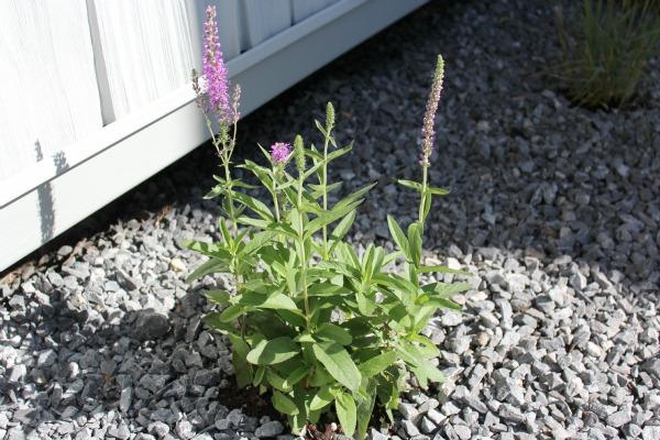 Atomic Lilac Perennial