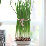 Paperwhites Tied with Ribbon - Dreamy Whites