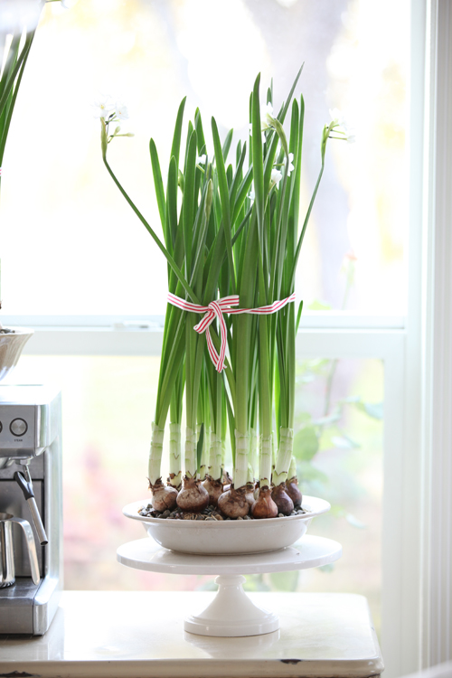 Potted Paperwhites Tied with Ribbon by Dreamy Whites