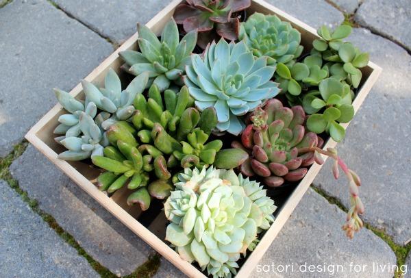 Succulent Assortment in Crate