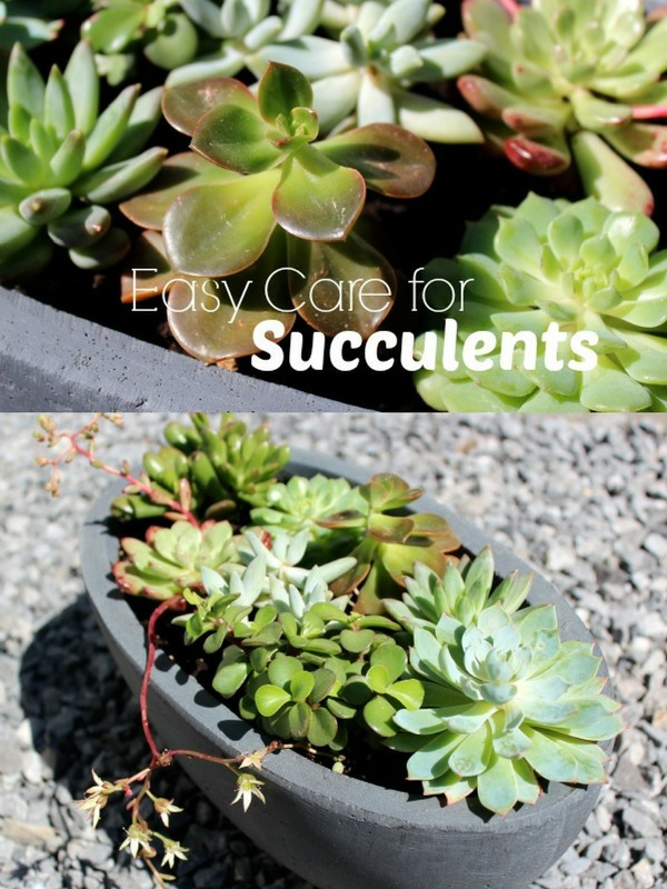 What's best when it comes to caring for outdoor succulents? I've learned a few important tips for keeping these popular plants healthy and vibrant all season long! #succulents