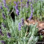 My Lavender Garden {Oh the Possibilities!}