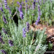 Lavender recipes and crafts