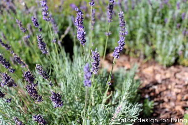 English Lavender Garden