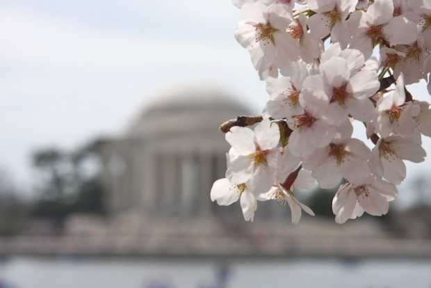 Cherry-Blossoms   Shop Girl