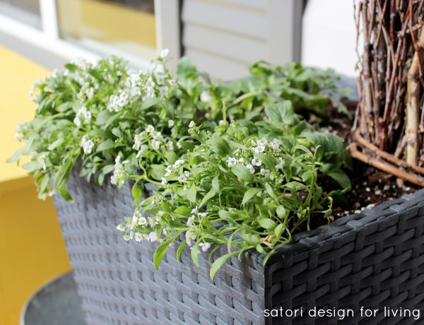 Cold Tolerant Annuals for Early Spring Planting - Alyssum | satori design for living