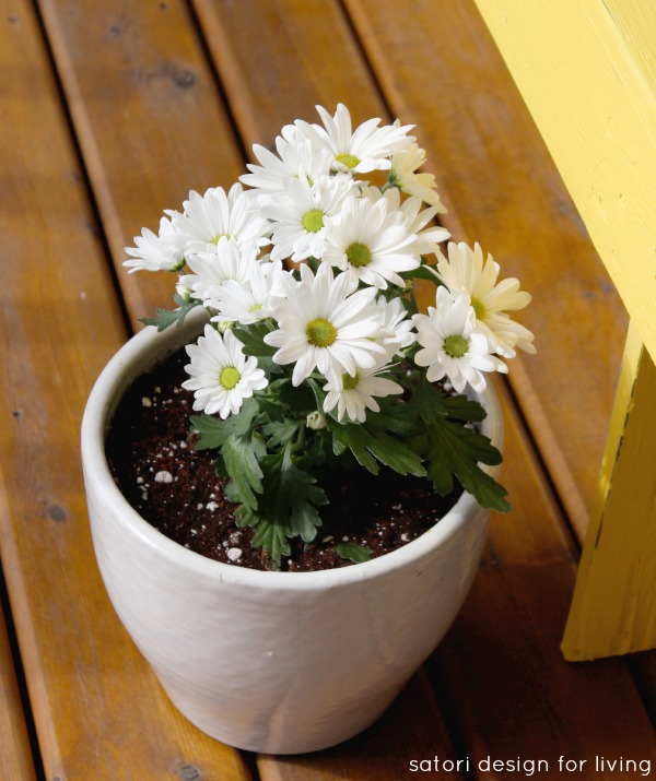 Cold Tolerant Annuals for Early Spring Planting - Chrysanthemum | satori design for living