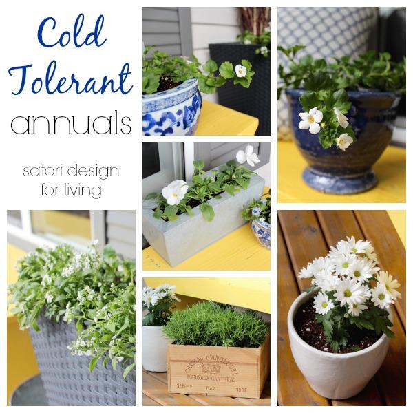 Cold Tolerant Annuals