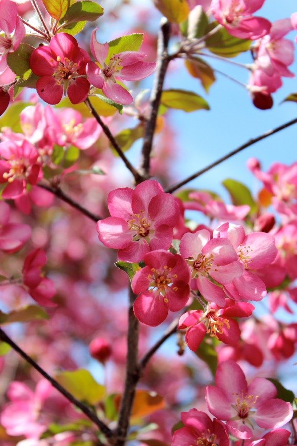 Thunderchild Crabapple Tree in Bloom - Satori Design for Living