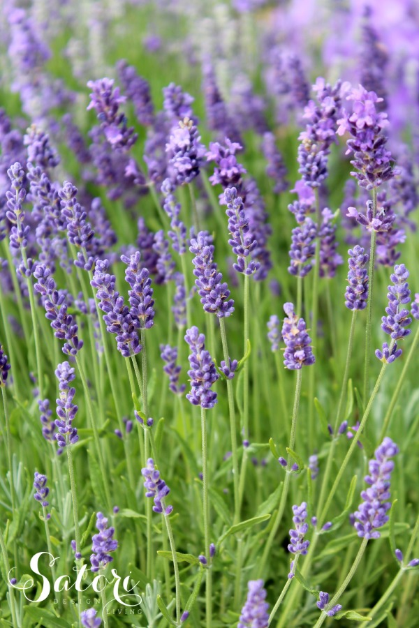 Munstead English Lavender Garden