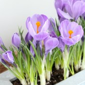 10 Minute Project - Easy & Inexpensive Spring Crocus Planter Using Bulbs from the Grocery Store - Satori Design for Living