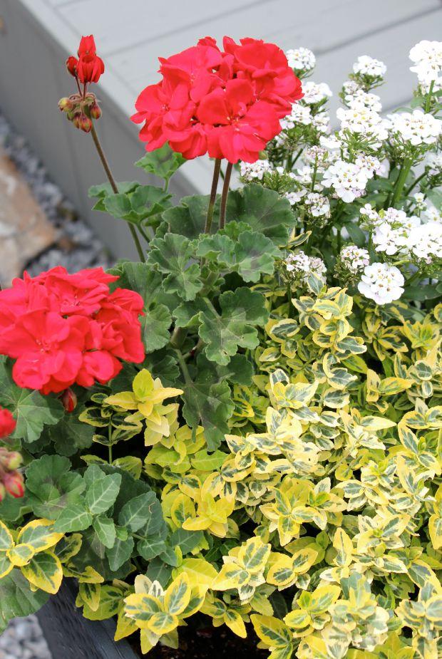 Red Geraniums, Euonymous & Iberis in Tall Planter - SatoriDesignforLiving.com