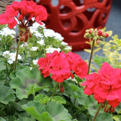 Geraniums for a Pop of Backyard Color