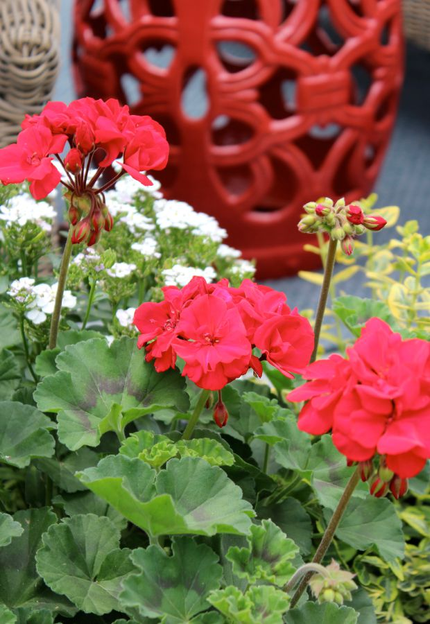 Geraniums for a Pop of Backyard Color - Red Geraniums in Tall Rattan Planter with Red Garden Stool