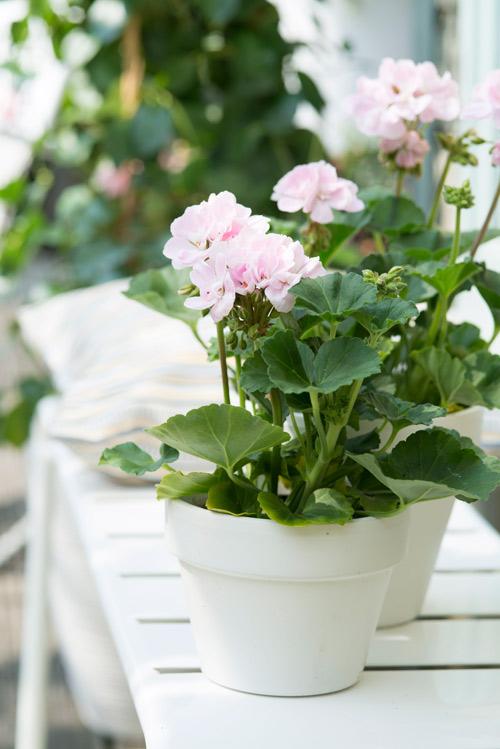Pink Geraniums in White Pots - Tuinen