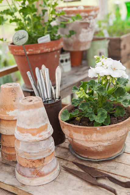 White Geraniums in Aged Terracotta Pots - Sofias Bod