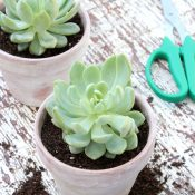 Potted Succulents - Quick Aged Terracotta Pots - Satori Design for Living