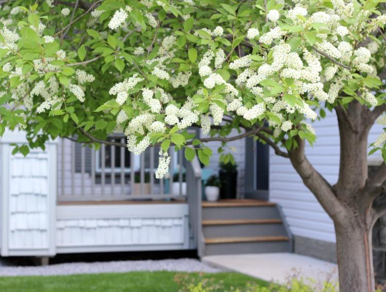 Schubert Chokecherry Tree in Bloom - Satori Design for Living