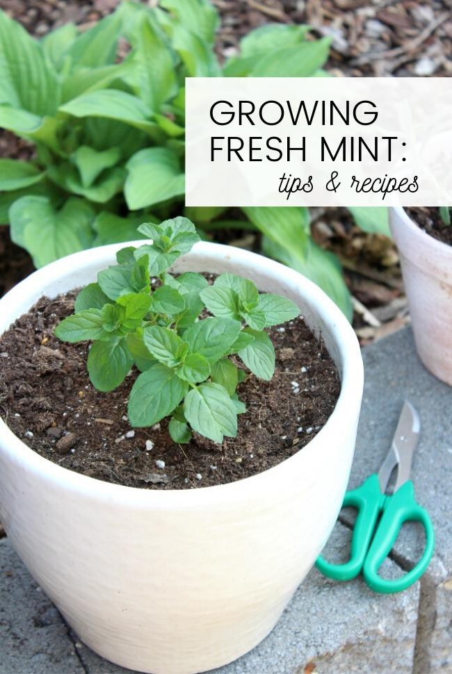 Mint Plant in White Pot